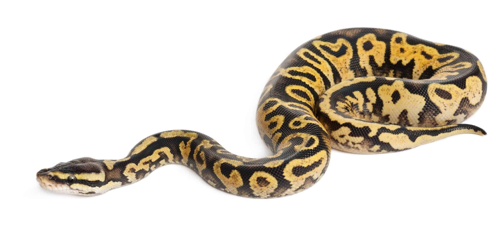 Bumblebee Ball Pythons: 10 Cool Facts With Pictures
