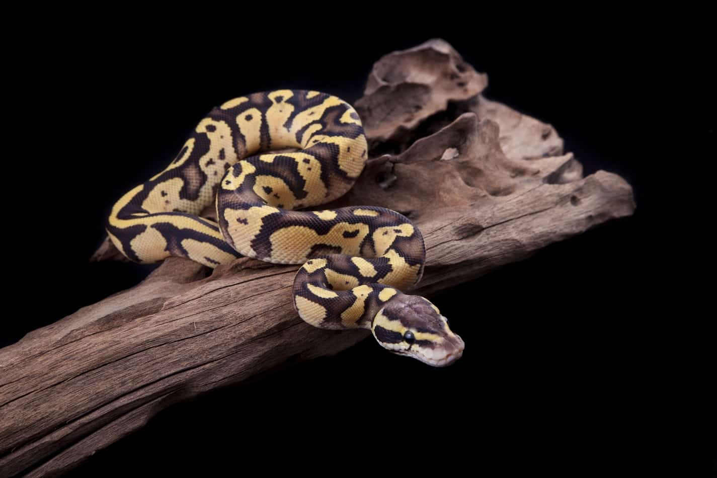 Buyer's Guide: Bedding for Ball Pythons