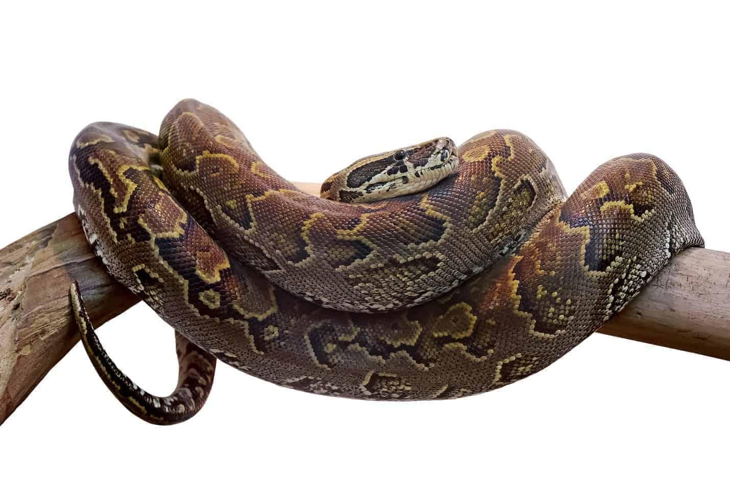 Buyer's Guide: Bedding for Boa Snakes