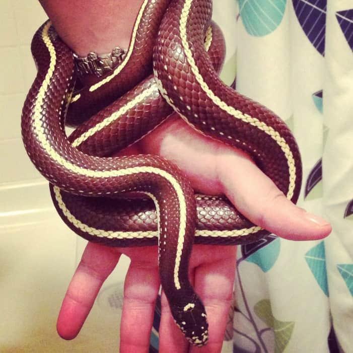 7 Best Snake Breeds for New Pet Snake Owners. California King Snake
