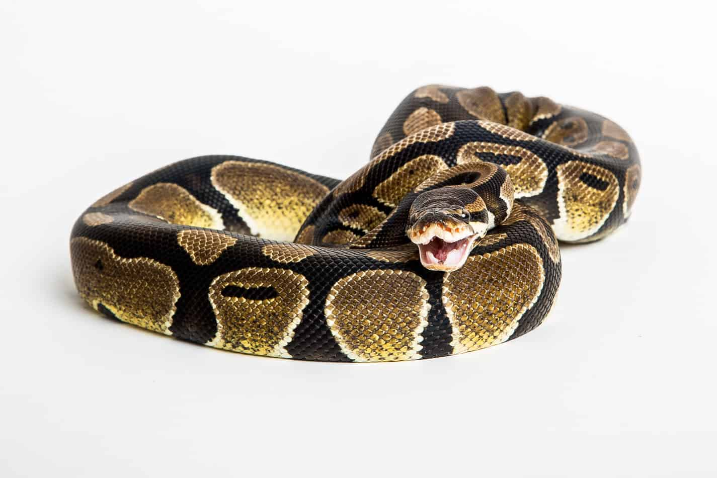 Can Ball Pythons Hiss?