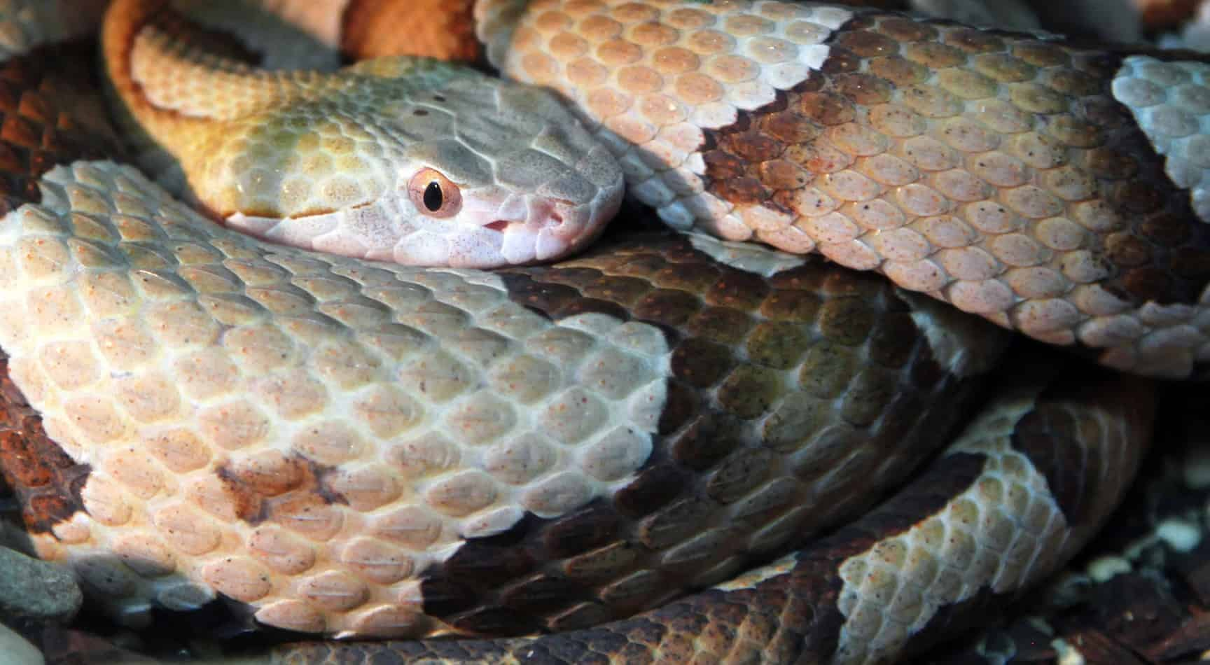 Copperhead Snakes- Species Profile with Bite Information, Facts, and Pictures