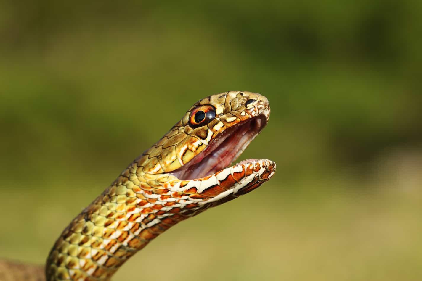 Do Pet Snakes Bite?