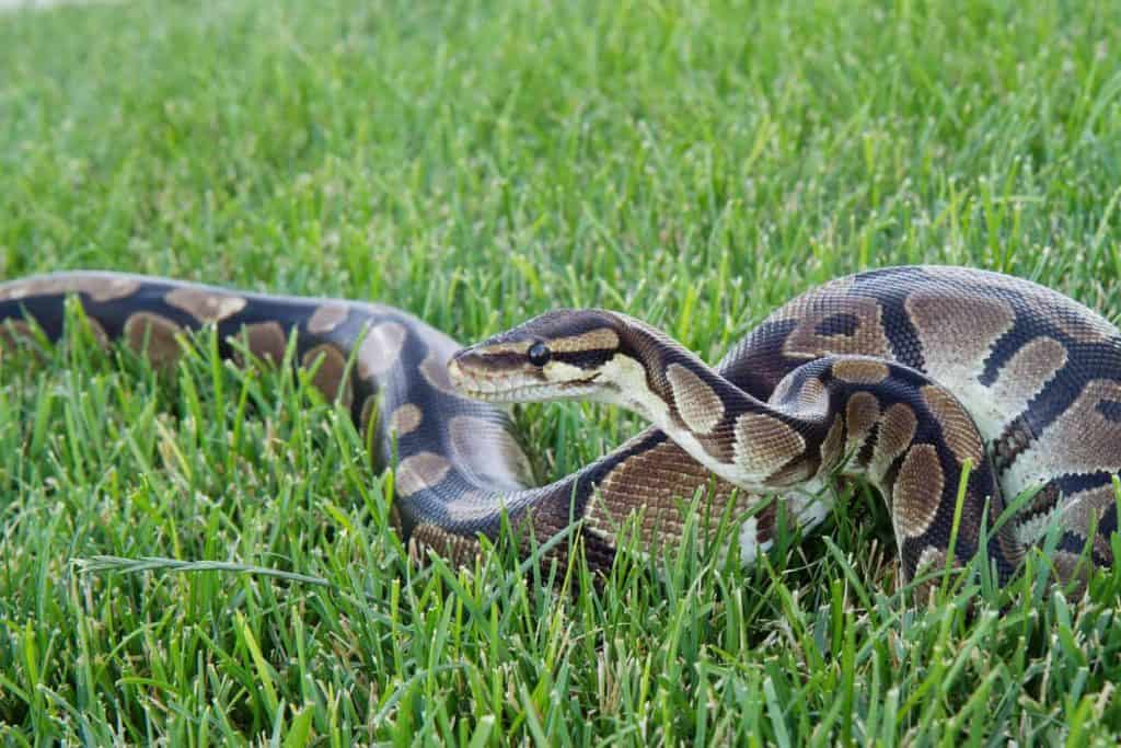 How Big Do Ball Pythons Get And How Long Does It Take For Them To Grow Embora Pets