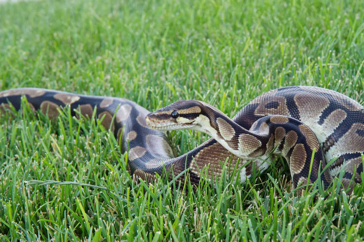 How Big Do Ball Pythons Get (And How Long Does it Take for Them to Grow)?