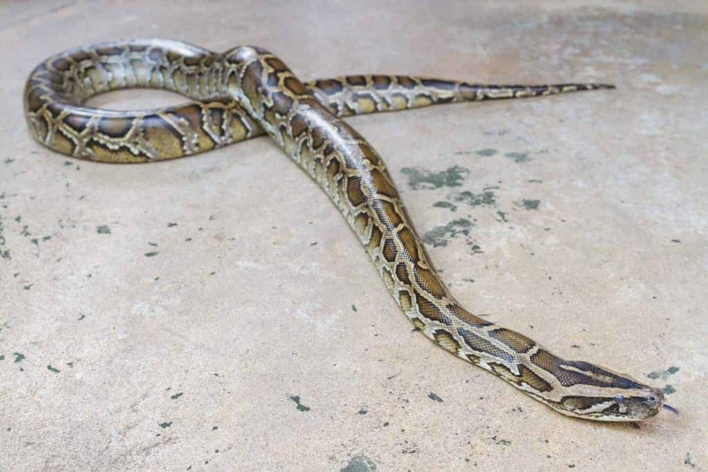 How Long Do Boa Constrictors Get Embora Pets