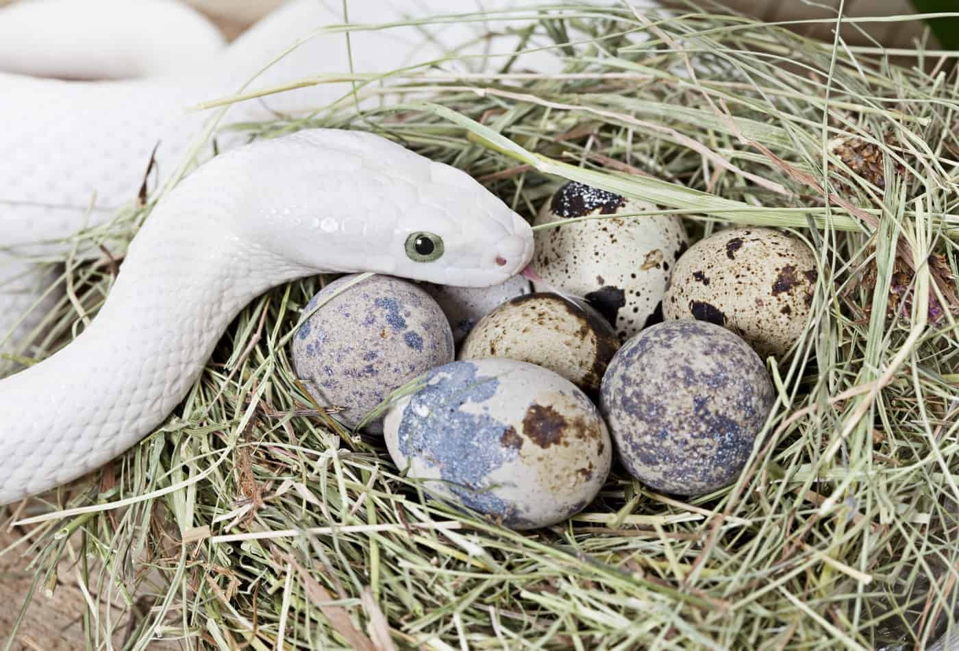 How Many Eggs Do Snakes Lay and How Many Survive?