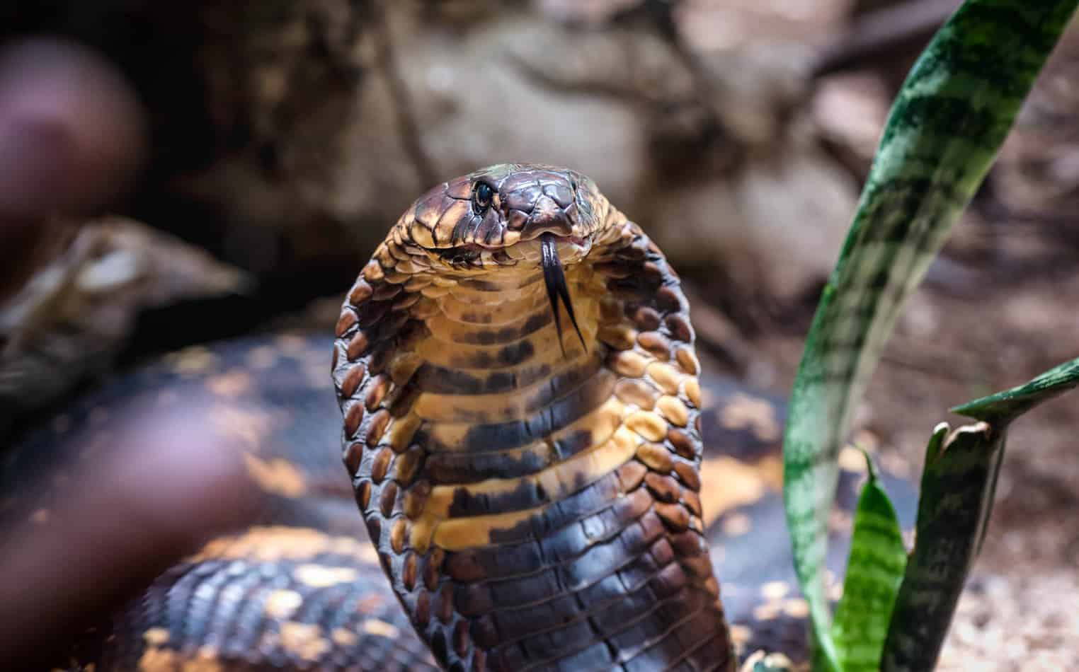 How Many Times a Year do King Snakes Lay Eggs?