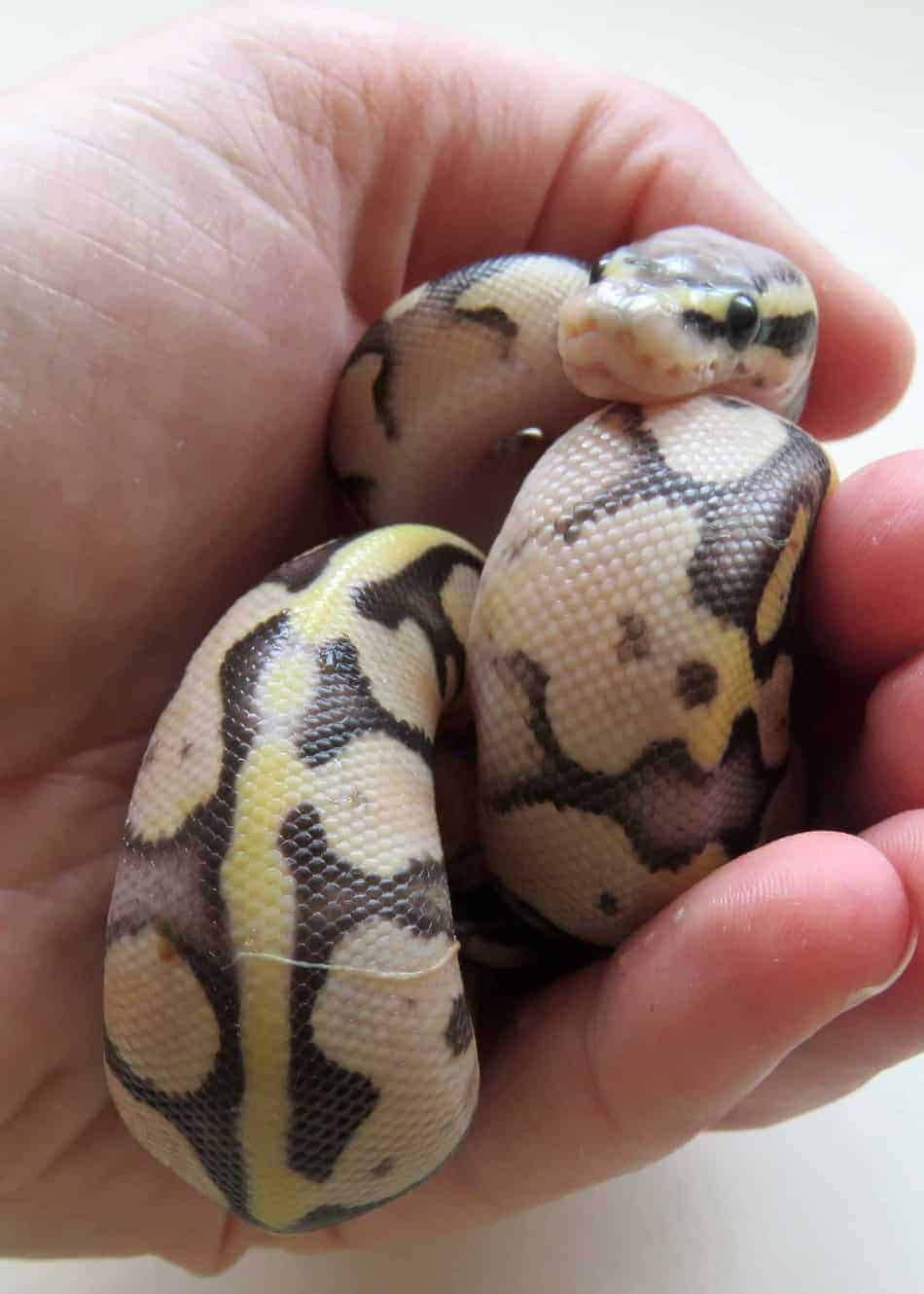 How to Breed a Snake (Complete Guide With Pictures) – Embora