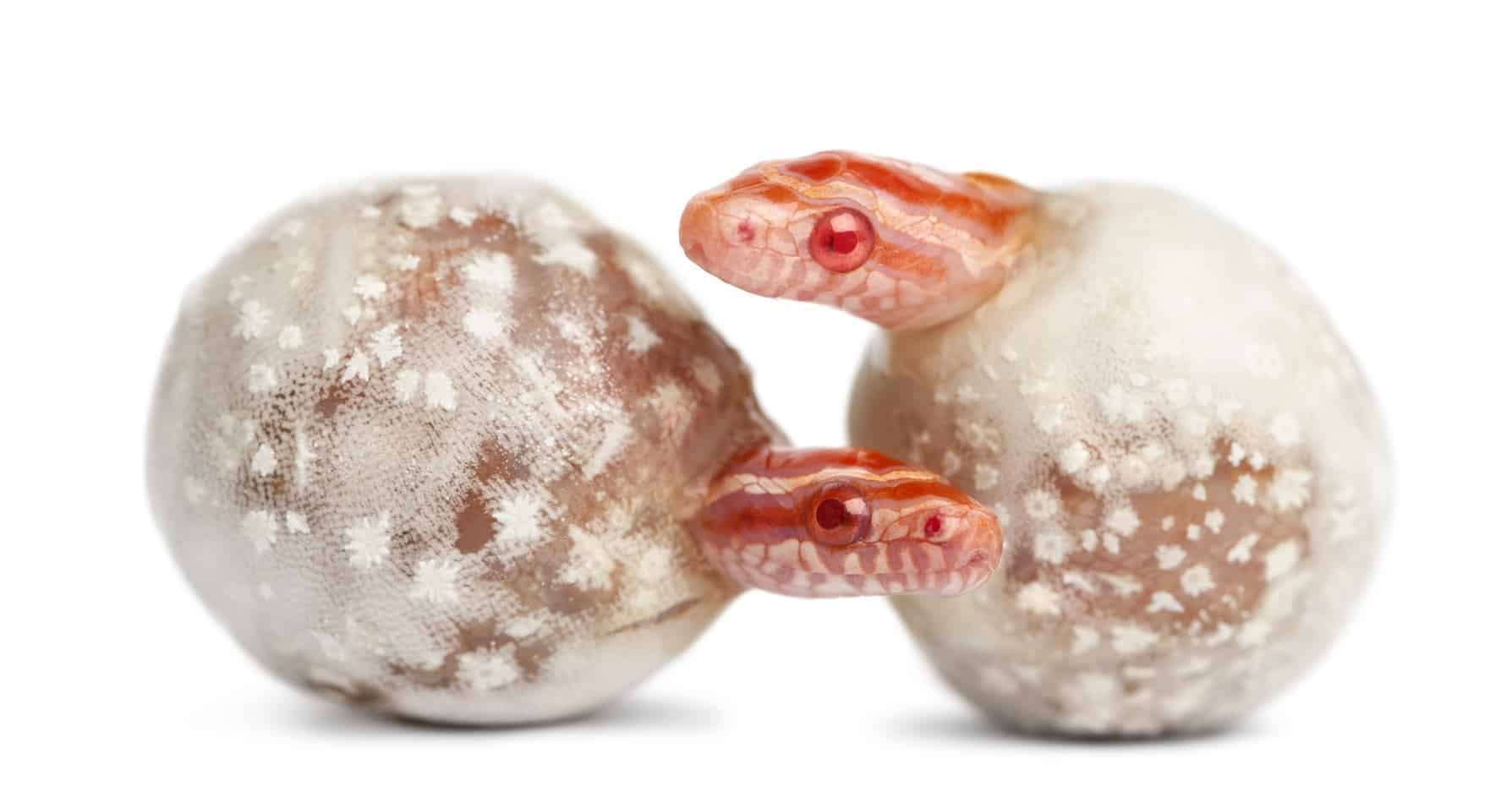 How to Breed and Sell Corn Snakes – Embora Pets