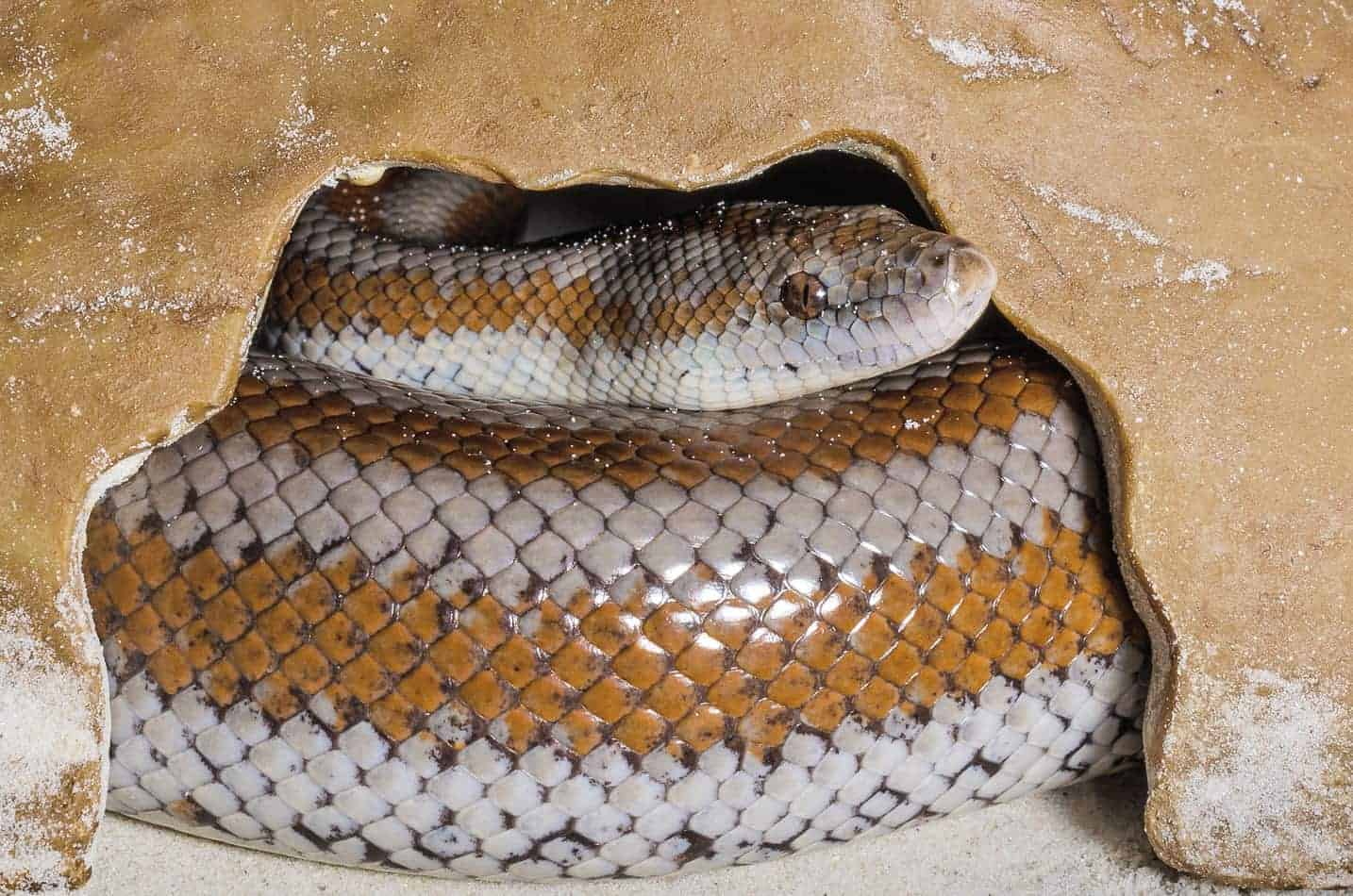 How to Feed a Rosy Boa Snake