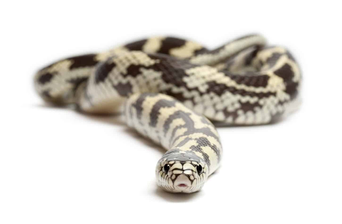 Kingsnakes as Pets: A Complete Guide With Pictures