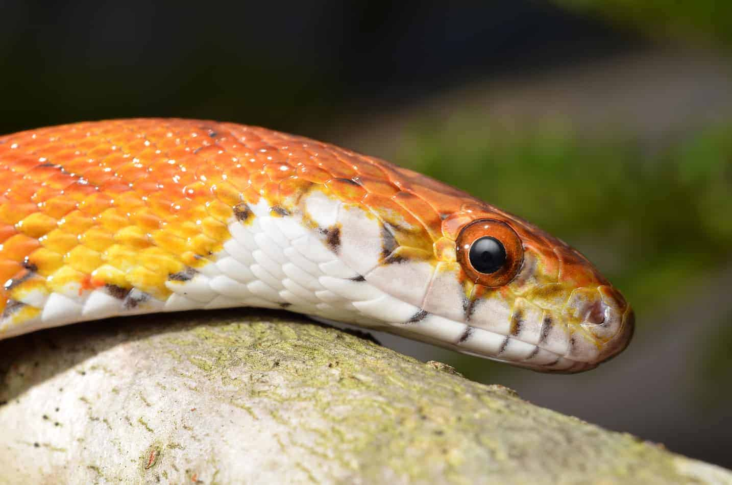 Most Popular Corn Snake Morphs (with Pictures and Facts)