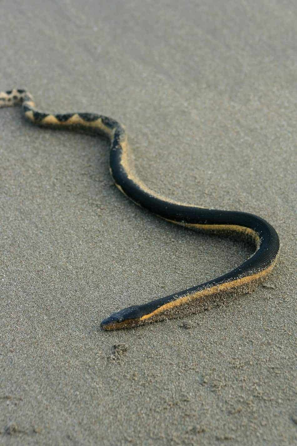The Most Venomous Snake in the U.S. (With Bite Facts and Pictures)