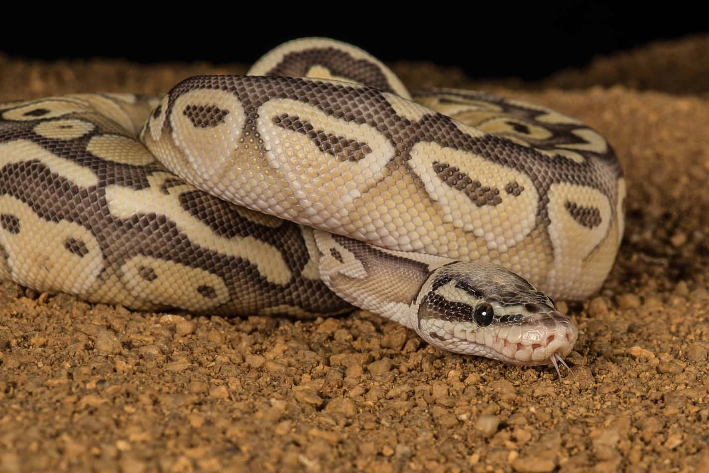 Pastel Ball Pythons: Everything You Need to Know