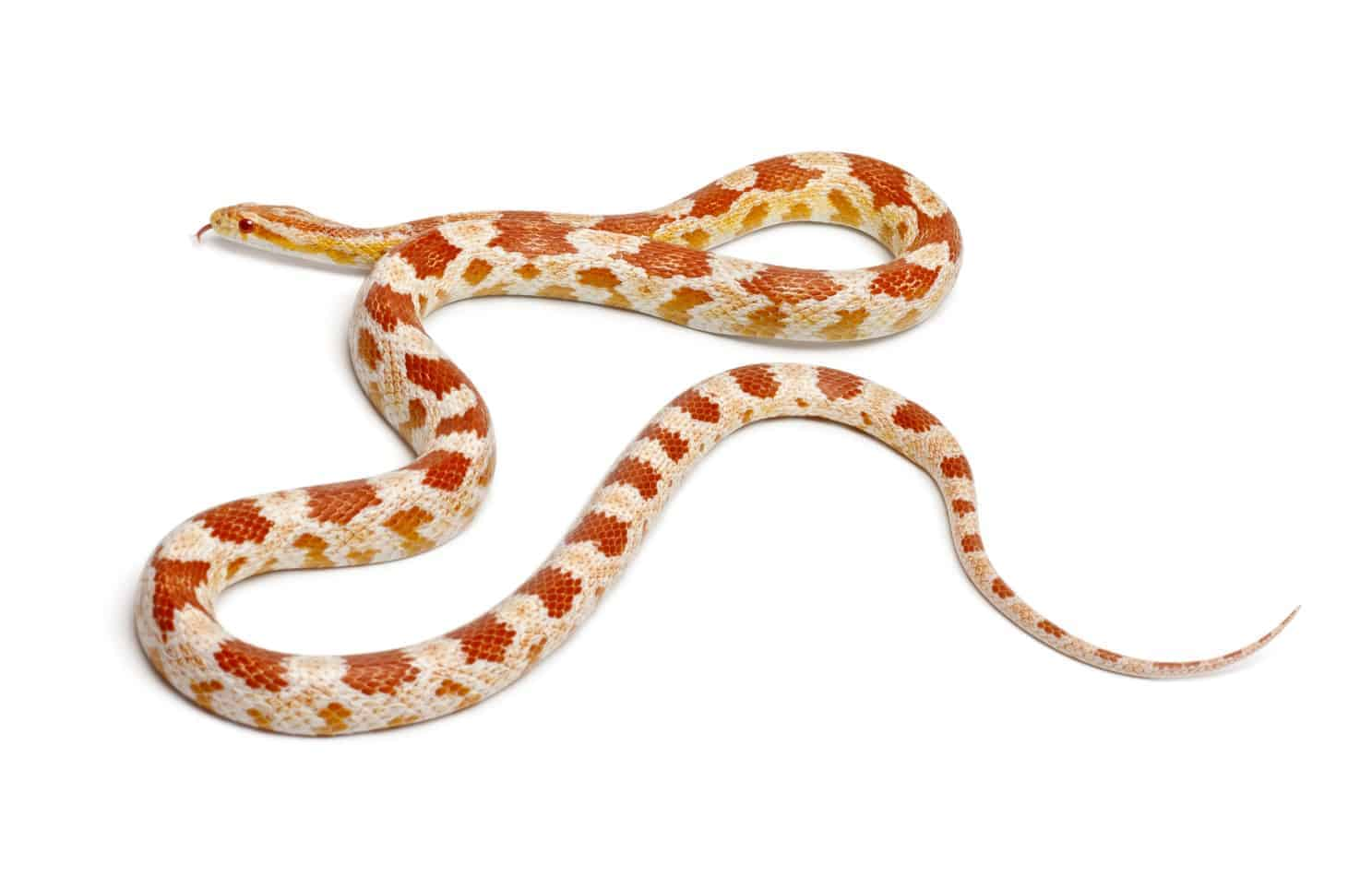 Most Popular Corn Snake Morphs With Pictures And Facts Embora Pets