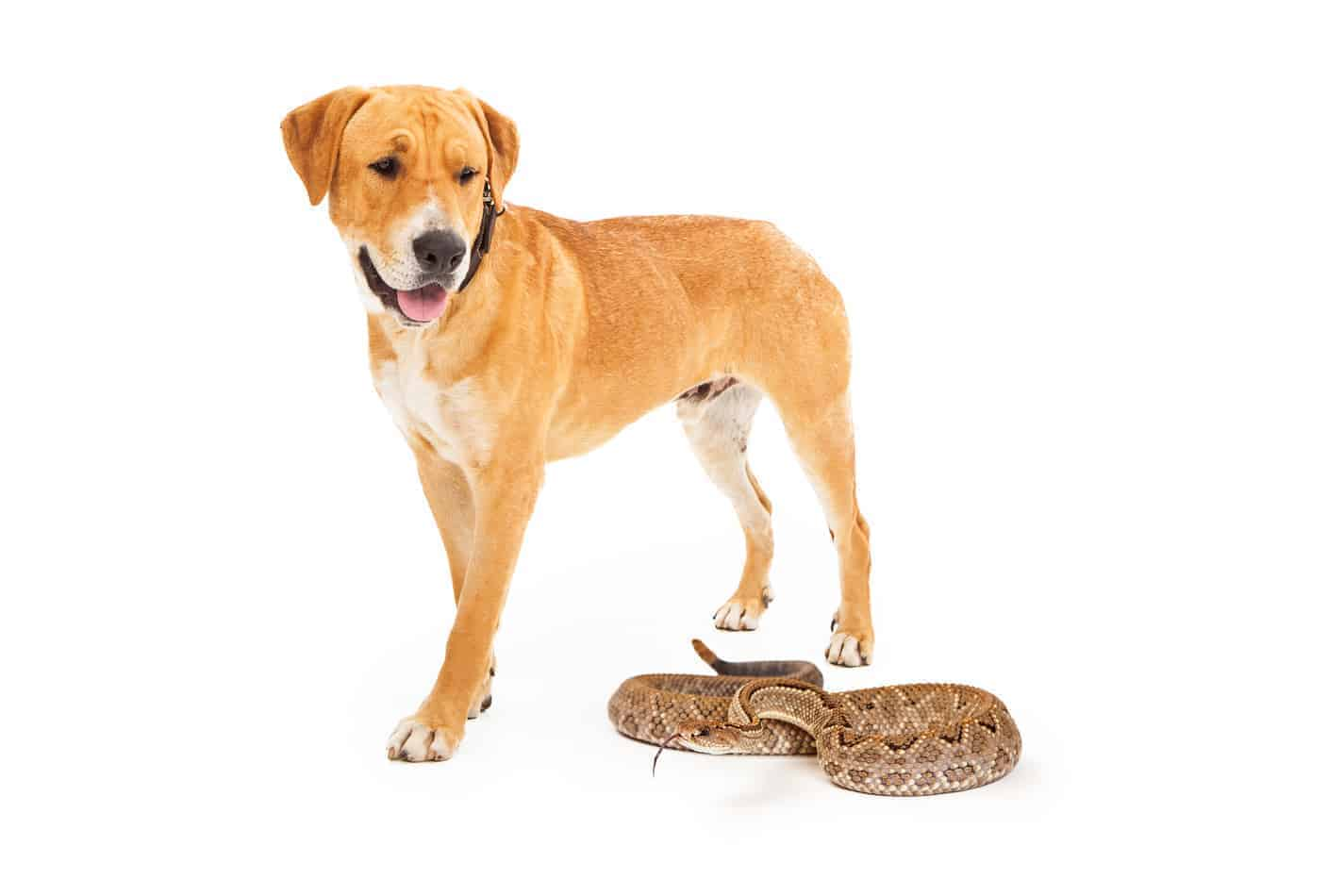 Are There Rattlesnake Vaccine for Dogs?