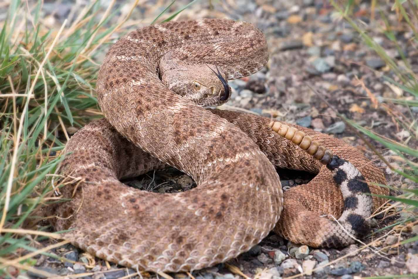 What Happens When a Rattlesnake Bites hat Do You Do if Bitten by a Rattlesnake?
