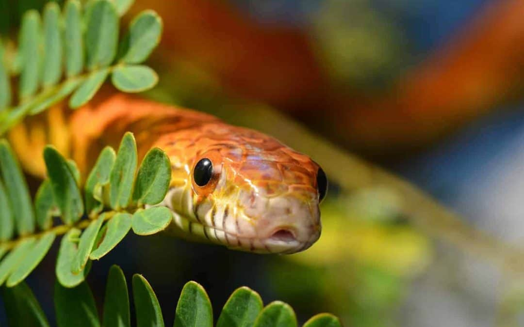 Recommended Terrarium Size for Corn Snakes