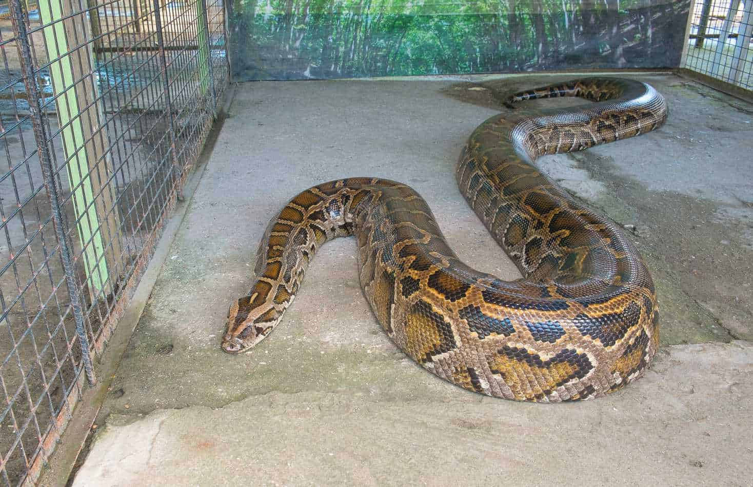 Reticulated Python Bites: A Guide with Pictures and Facts