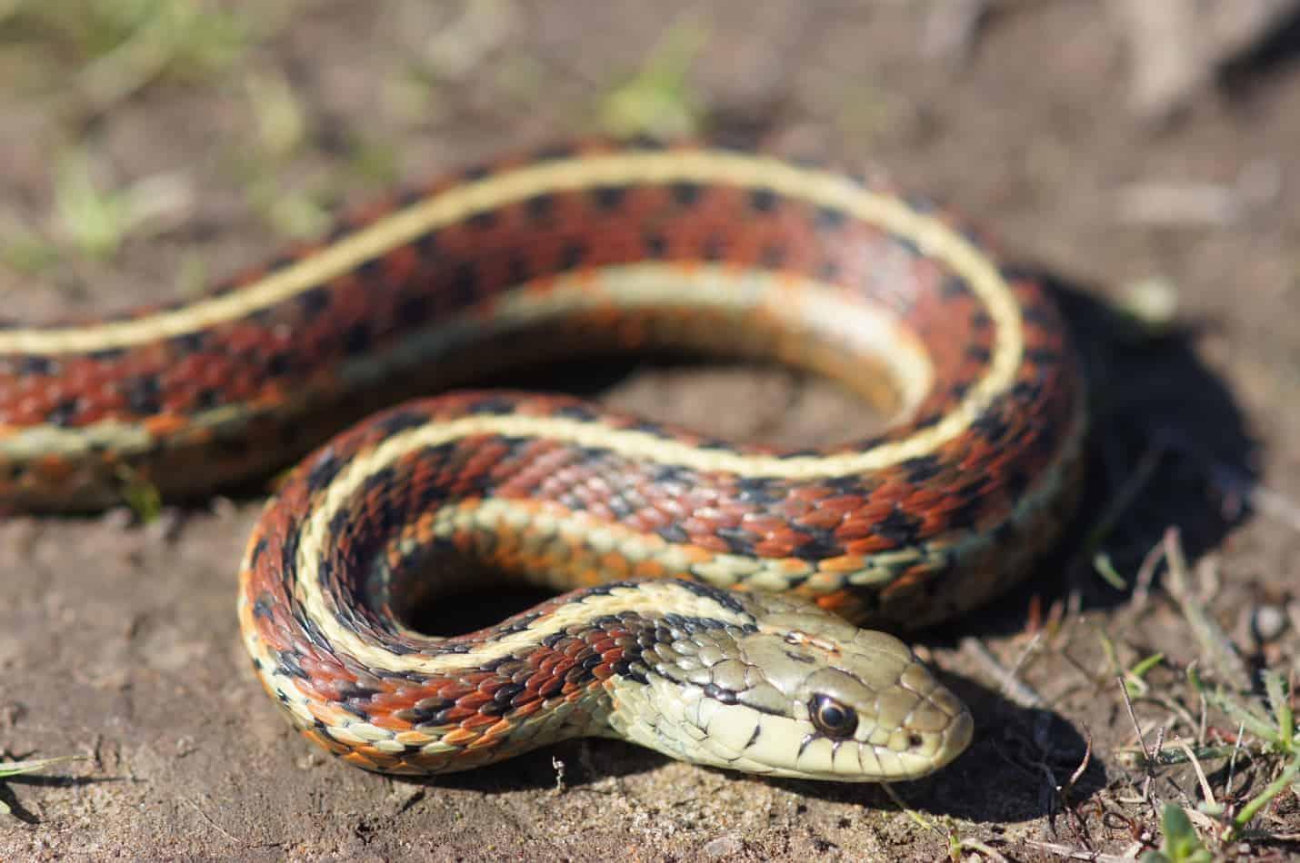 Species Profile: California Red-Sided Garter Snake