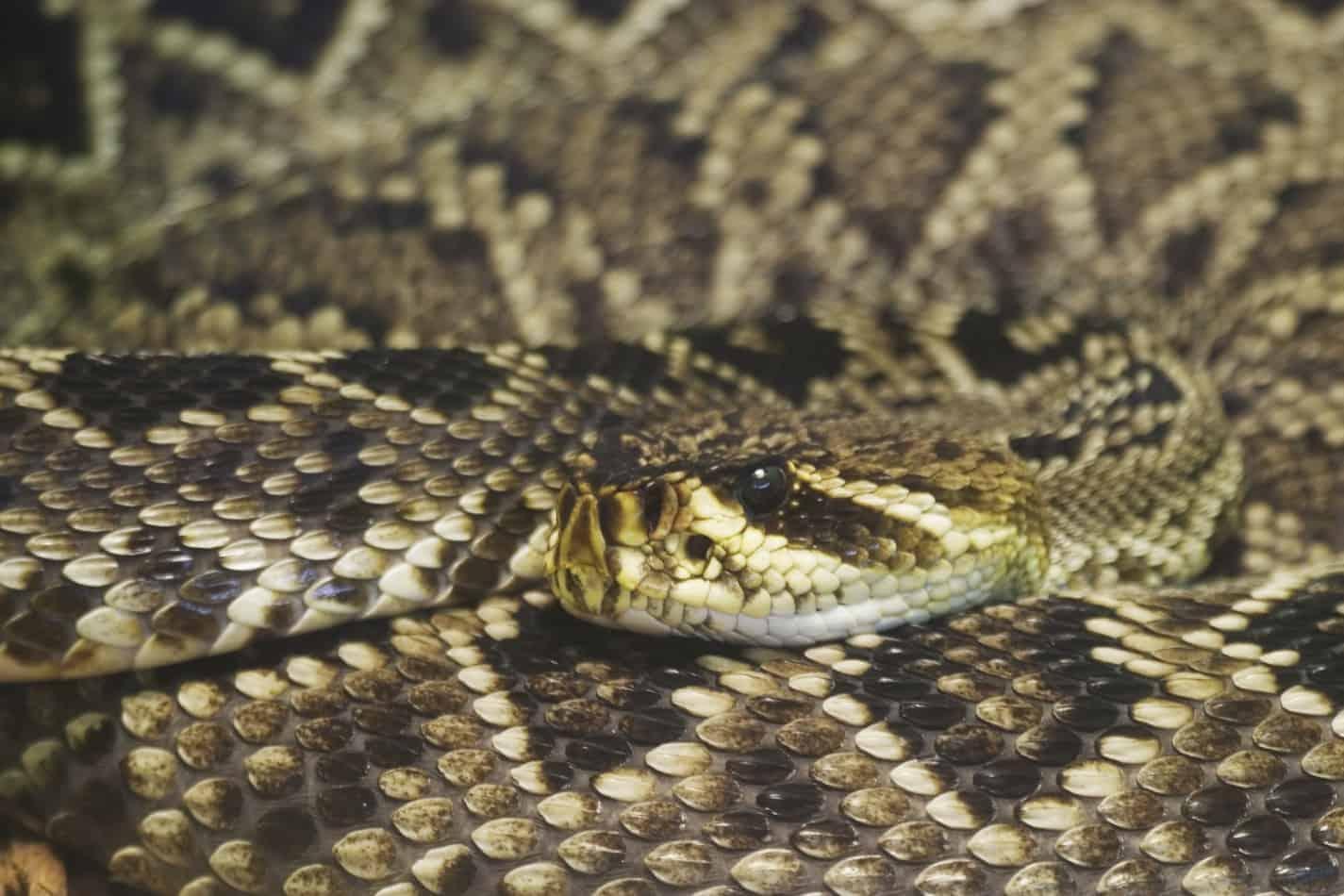 Species Profile: The Eastern Diamondback Rattlesnake