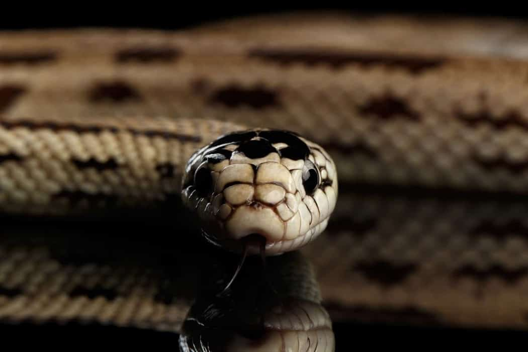 Species Profile: Eastern King Snakes