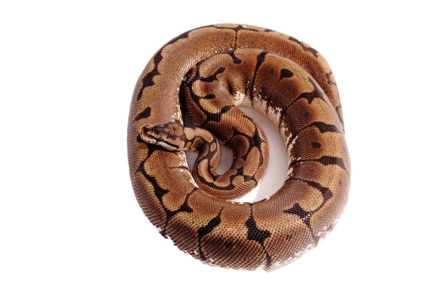 Spider Ball Pythons: 15 Cool Facts