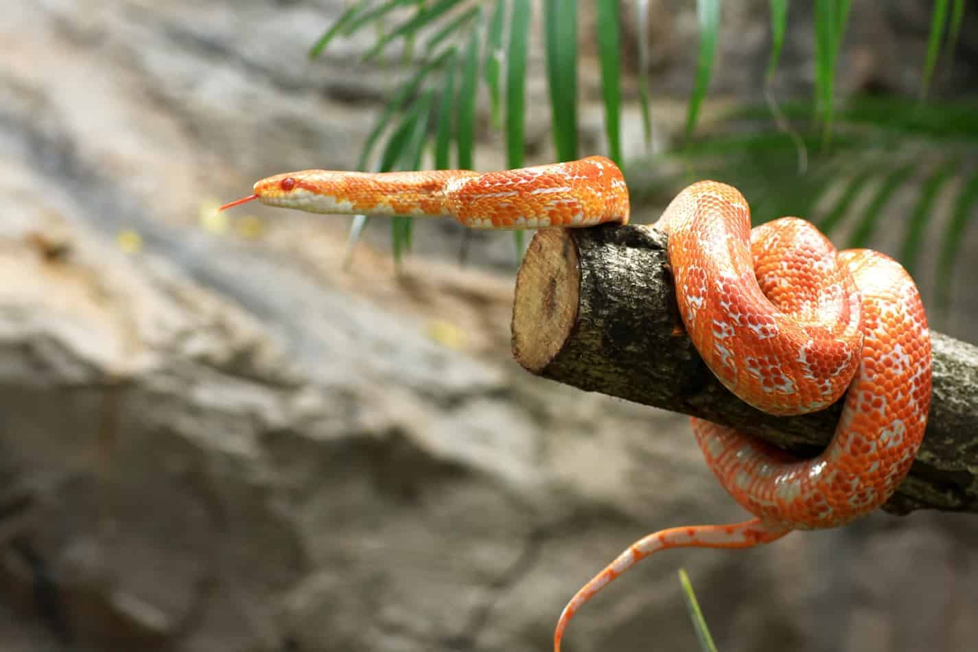 The Florida Corn Snake: 11 Interesting Facts