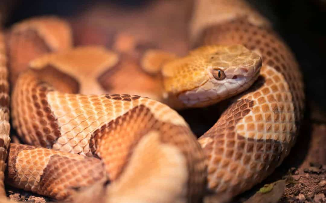 These 5 Snakes Look Similar to Copperheads