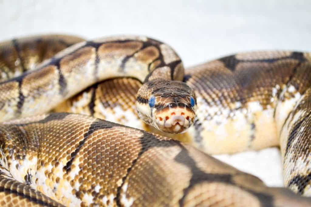 Can Ball Pythons Hear?