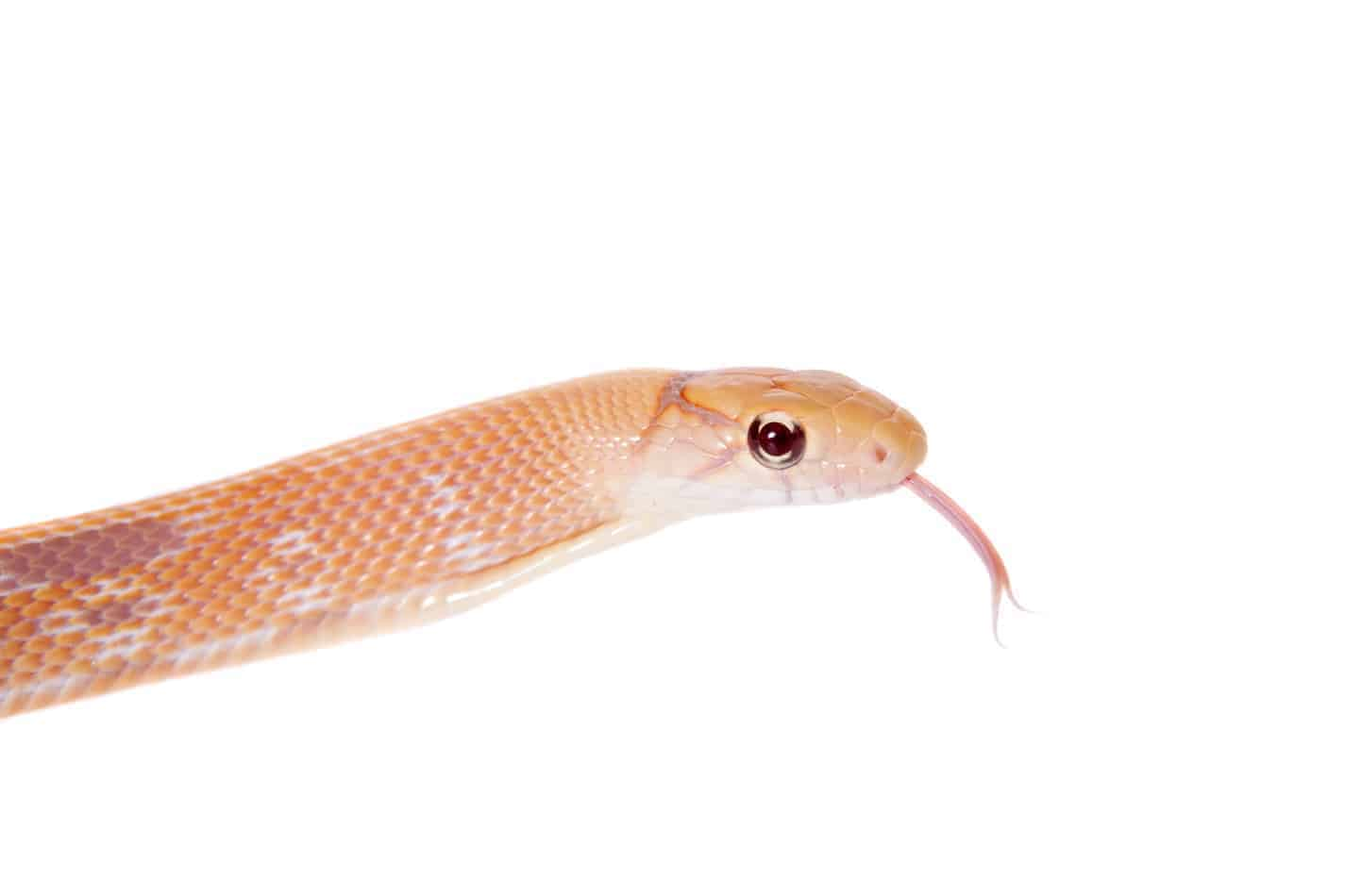 Baby Copperhead Snake Identification Guide (Look for these 5 things!)