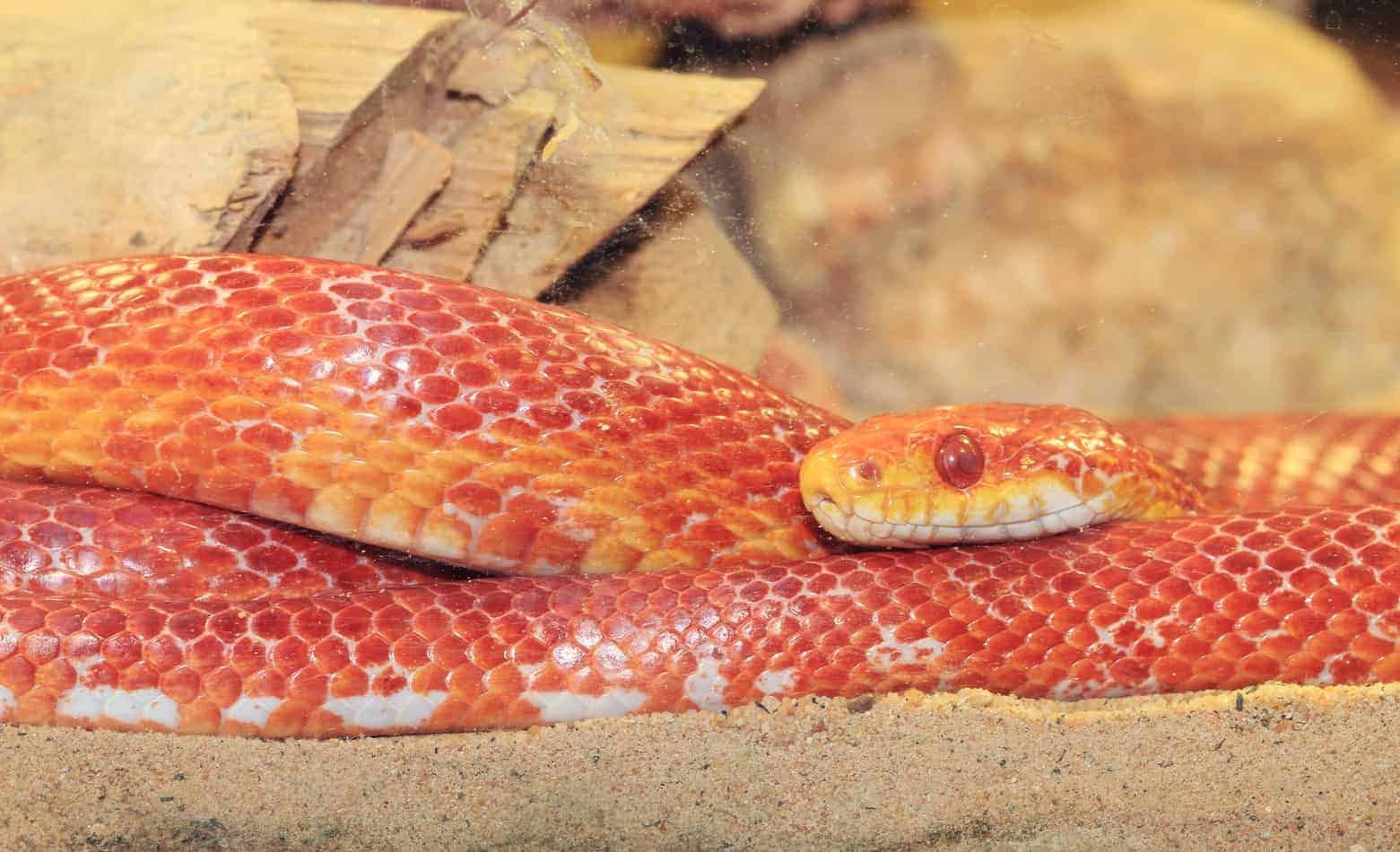 What Happens When a Corn Snake Bites? (With Pictures and Facts)