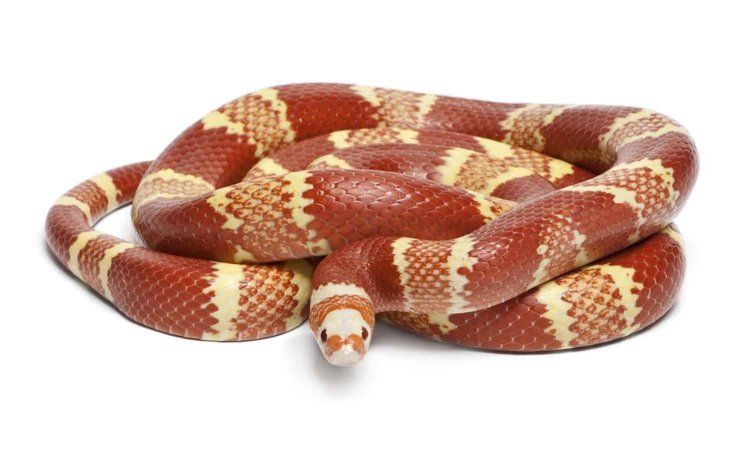 What Happens When a Milk Snake Bites?