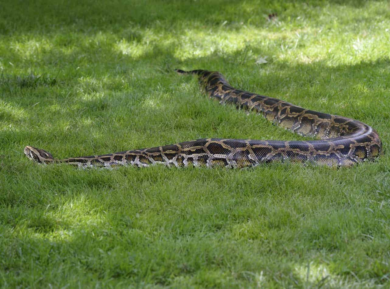 What's the Biggest Snake in the United States?