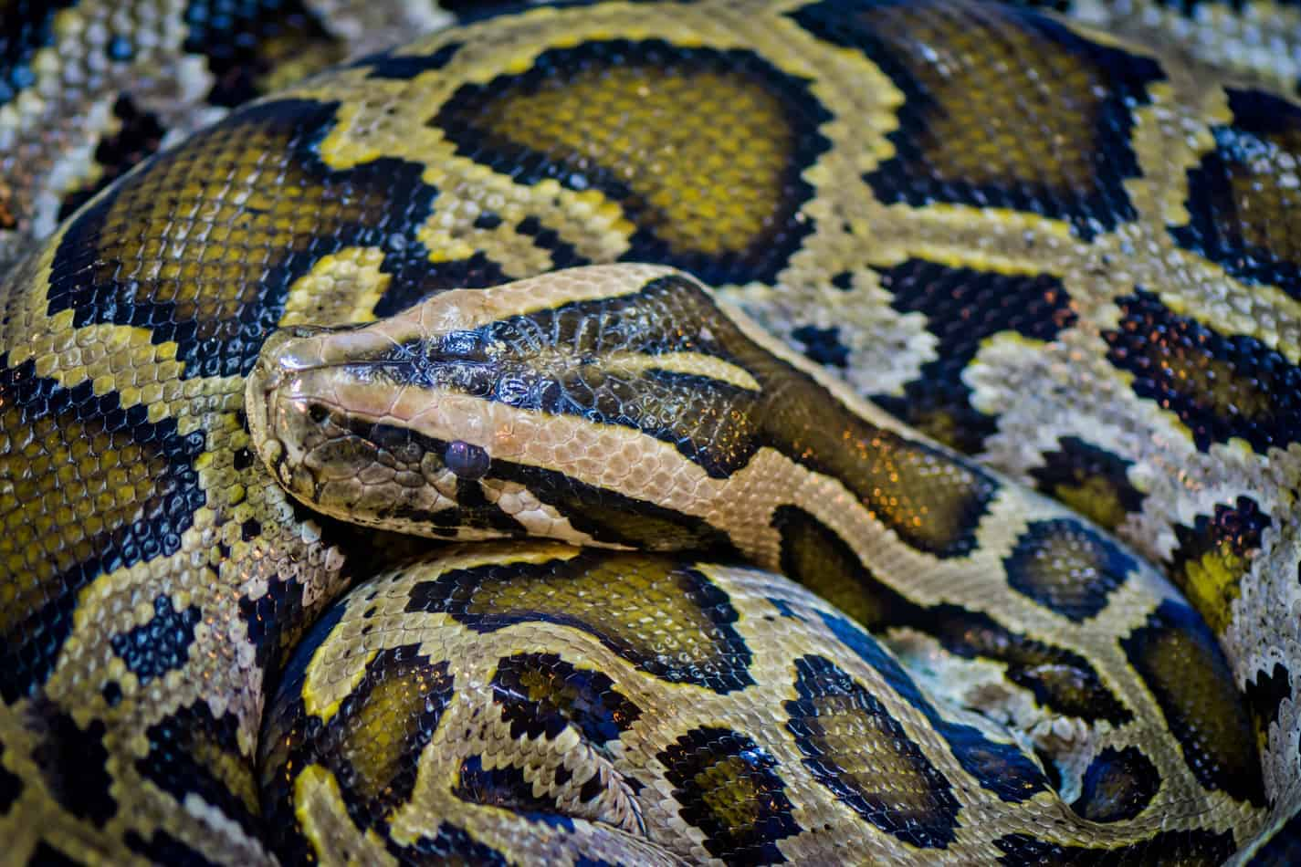 What S The Difference Between A Python And A Boa Embora Pets