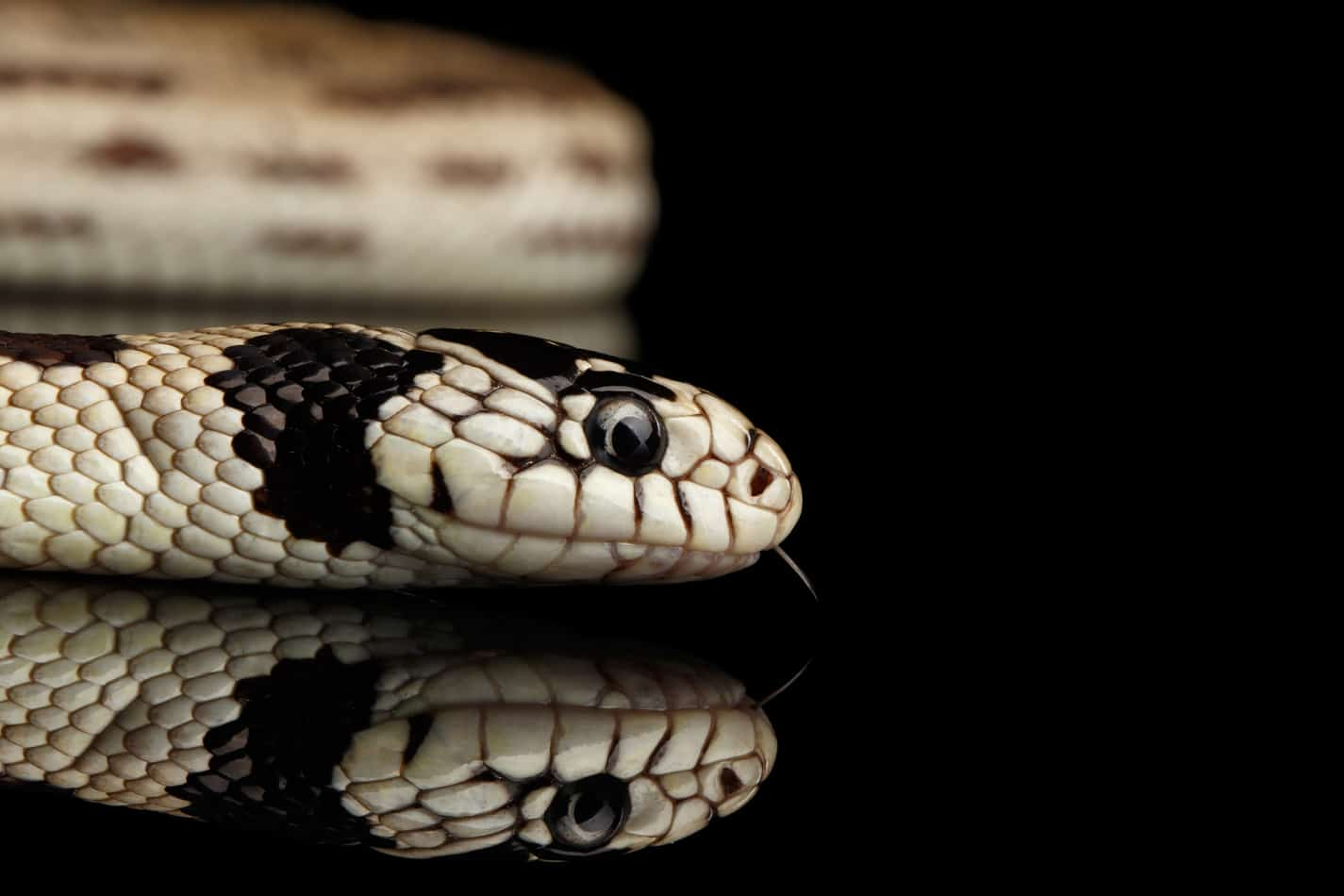 California King Snakes: Facts with Pictures and Video