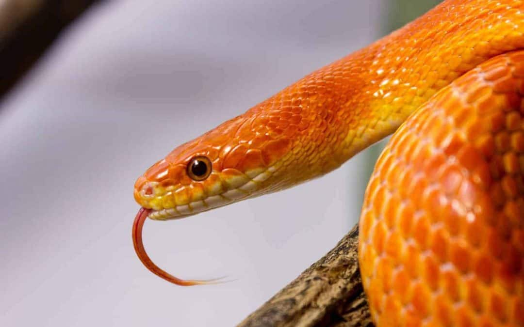 Average Cost of Pet Snakes (With 17 Examples)