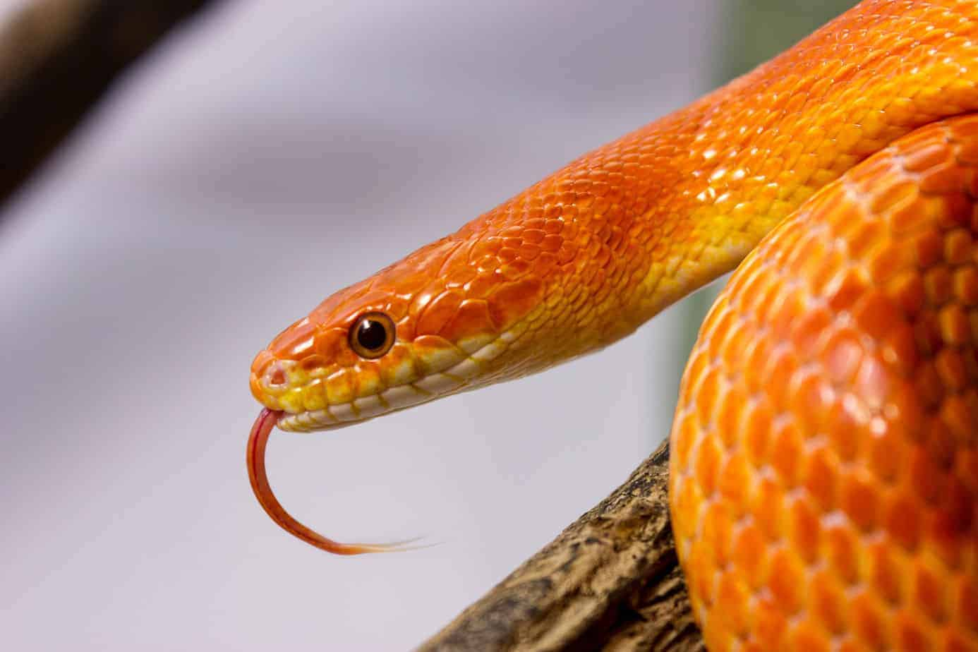 Average Cost Of Pet Snakes With 17 Examples Embora Pets