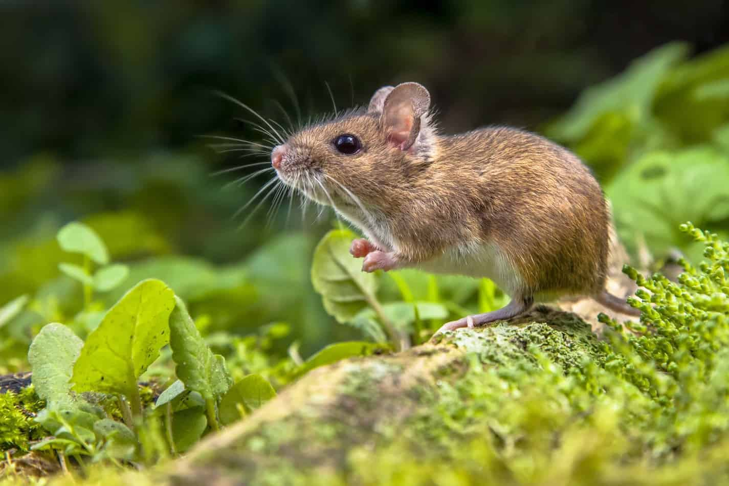Can Pet Snakes Eat Wild Mice?