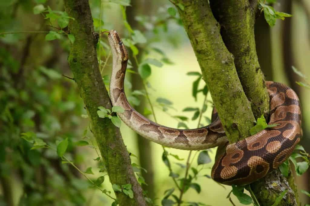 Can Pet Snakes Survive in the Wild? – Embora Pets