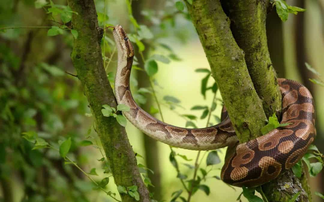 Can Pet Snakes Survive in the Wild?