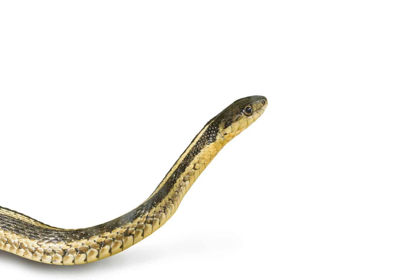 Common Garter Snakes: Size, Bite Information, Pictures, and Facts