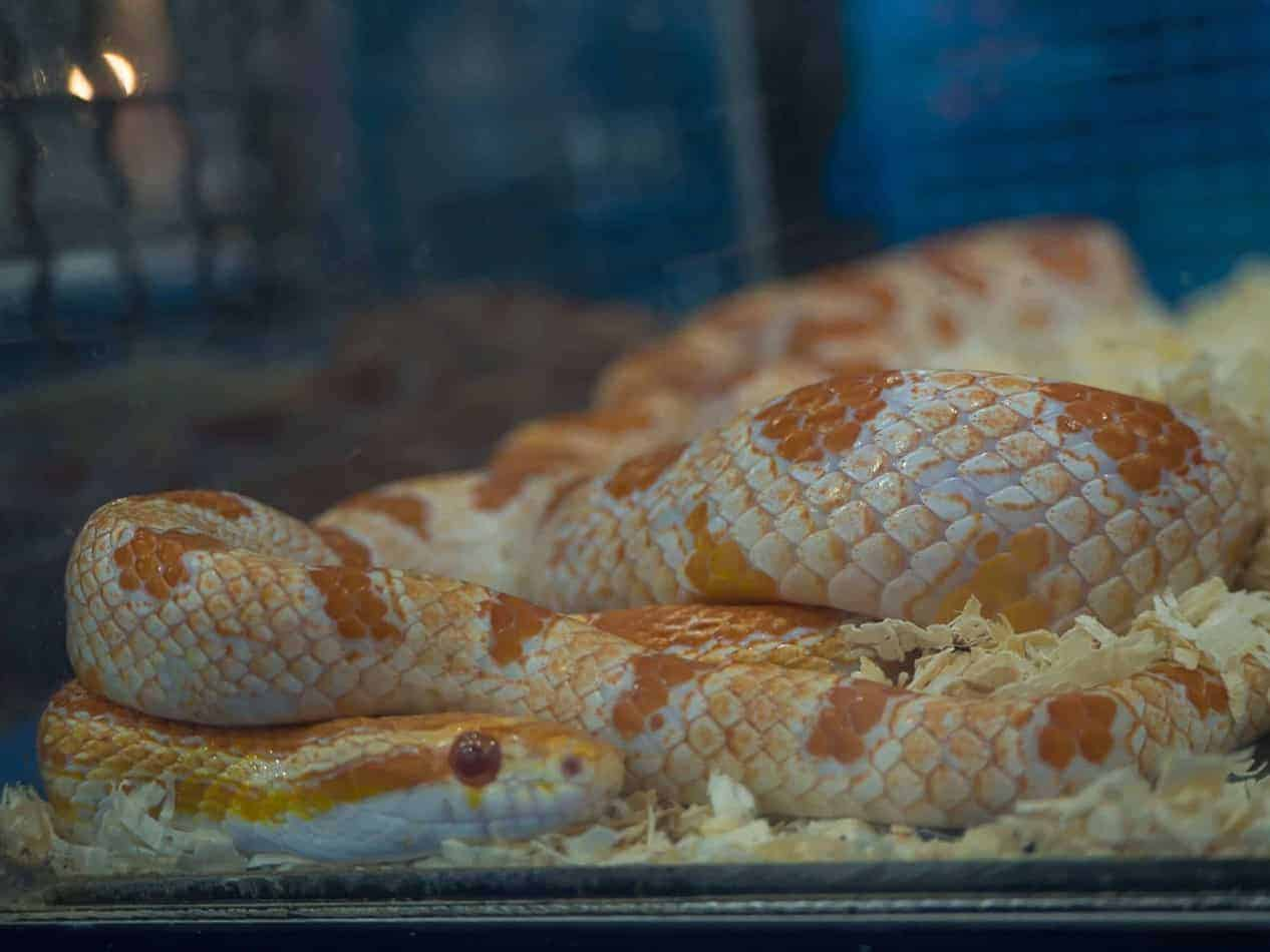 How Big Do Corn Snakes Get (And How Long it Takes to Grow)
