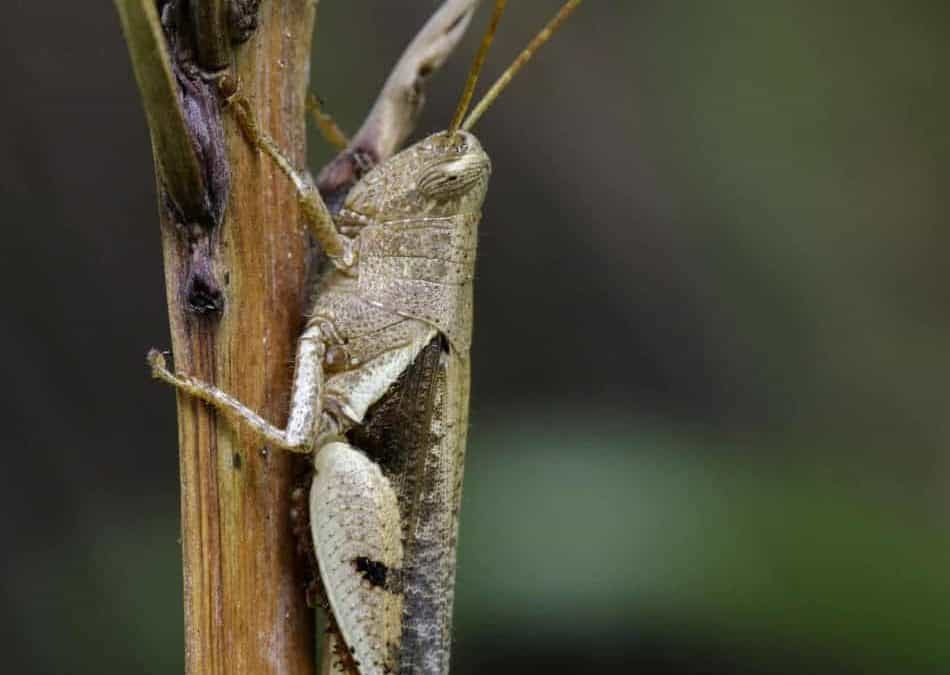 Can Rosy Boas Eat Crickets?