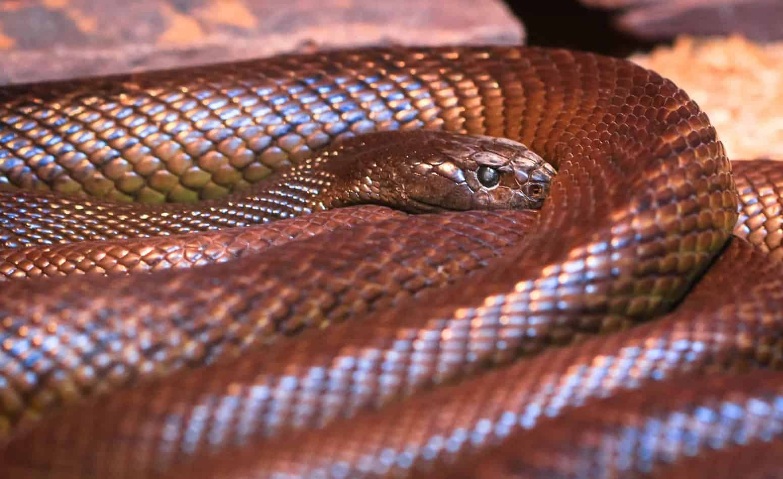 The Most Dangerous Snake in the World (with Bite Facts and Pictures)