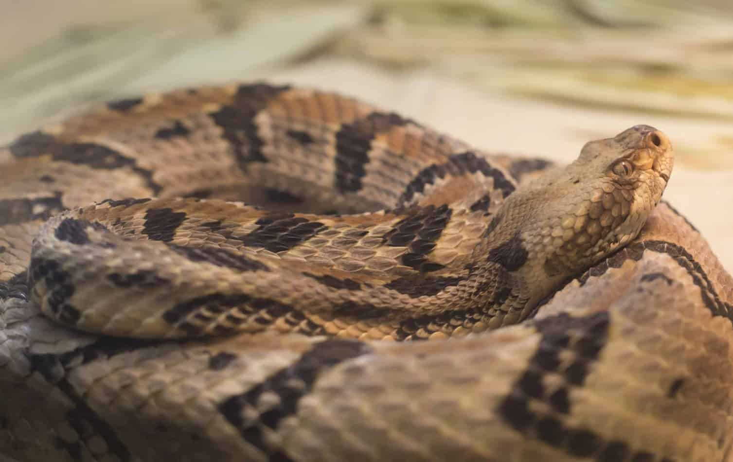 Species Profile: Timber Rattlesnake (With pictures and Facts)