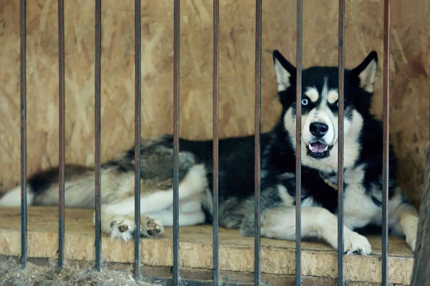 Husky Rescue Guide: How to find one, and what it will be like