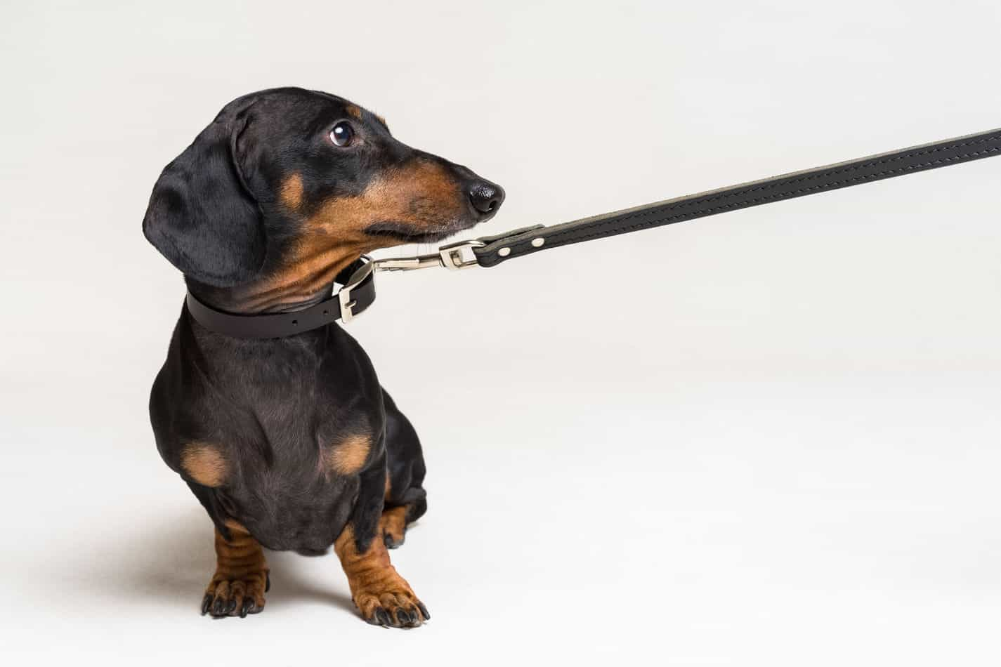 Are Dachsunds Easy to Train?