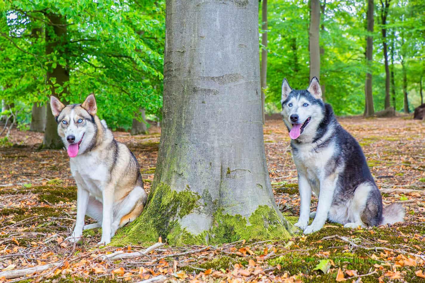 Can Huskies Live Outside Embora Pets